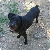 Standard Schnauzer Mix Dog for adoption in Blacksburg, South Carolina - Adele