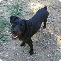Adopt A Pet :: Adele - Blacksburg, SC