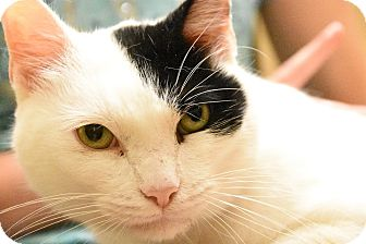 Domestic Shorthair Cat for adoption in Naperville, Illinois - Jordan- $65 - SWEET, PLAYFUL