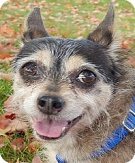 Terrier (Unknown Type, Medium)/Chihuahua Mix Dog for adoption in Bloomington, Illinois - Lexi