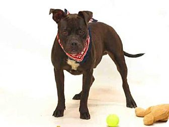 Boxer Mix Dog for adoption in Sanford, Florida - KING