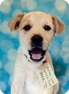 Cattle Dog/Labrador Retriever Mix Puppy for adoption in West Seneca, New York - Paddington
