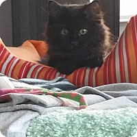 Domestic Longhair Kitten for adoption in Virginia Beach, Virginia - Dakota