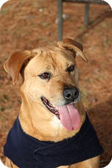 Golden Retriever/Pit Bull Terrier Mix Dog for adoption in Front Royal, Virginia - Finn