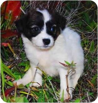 Welsh Corgi/Papillon Mix Puppy for adoption in San Clemente, California - Sunshine