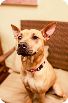 Shar Pei/Basenji Mix Dog for adoption in Lake Odessa, Michigan - Velveteen