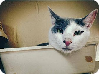 Domestic Shorthair Cat for adoption in Hampton, Virginia - Little Louie