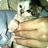 Adopt A Pet :: Tiny - Island Park, NY
