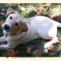Adopt A Pet :: Gomer - Brattleboro, VT