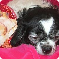 Adopt A Pet :: Hatsu - Aurora, CO