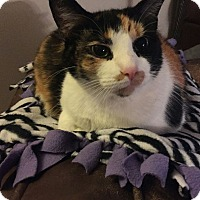 Calico Cat for adoption in Orland Park, Illinois - Stella