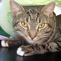 Domestic Shorthair Cat for adoption in Redlands, California - Chivas