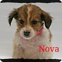 Adopt A Pet :: Nova - Old Saybrook, CT