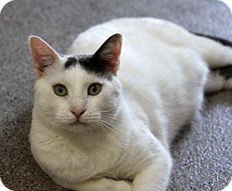 Domestic Shorthair Cat for adoption in Sarasota, Florida - Boomer