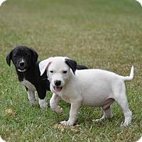 Adopt A Pet :: Jadon - Groton, MA