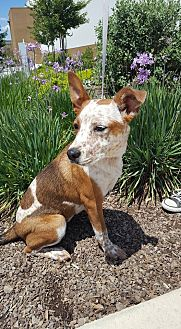 Australian Cattle Dog Mix Dog for adoption in Fresno, California - Ruby