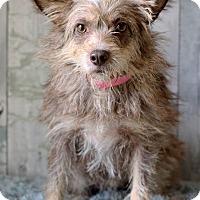 Adopt A Pet :: Peppy - Waldorf, MD