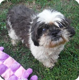 Shih Tzu Dog for adoption in Flanders, New Jersey - AVA PENDING