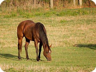 Quarterhorse/Paint/Pinto Mix for adoption in Seneca, South Carolina - Gemma