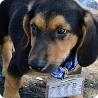 Adopt A Pet :: New York Pup - Hudson - San Diego, CA
