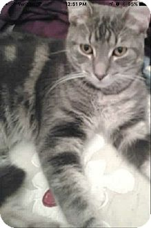Domestic Shorthair Cat for adoption in Wantagh, New York - Ricky