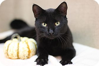 Domestic Shorthair Cat for adoption in Midland, Michigan - The Dude