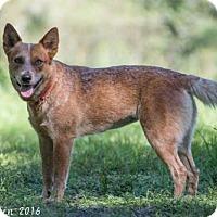 Australian Cattle Dog Dog for adoption in Bradenton, Florida - Dare