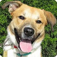 Adopt A Pet :: A076434 Caesar - Overland Park, KS
