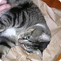Adopt A Pet :: Gravy - Acushnet, MA