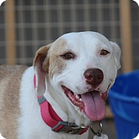 American Bulldog Mix Dog for adoption in Glastonbury, Connecticut - Nadine~new video!