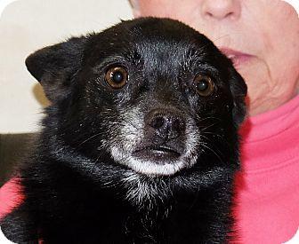 Chihuahua Mix Dog for adoption in Spokane, Washington - Picasso