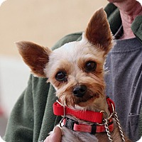 Yorkie, Yorkshire Terrier Dog for adoption in Palmdale, California - Melinda