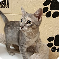 Domestic Shorthair Kitten for adoption in Smithfield, North Carolina - Rey