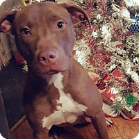 American Pit Bull Terrier Mix Dog for adoption in Taneytown, Maryland - Zara - Adoption Pending - Congrats Fuentes family