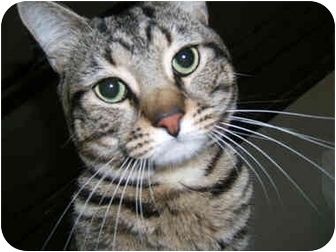 American Shorthair Cat for adoption in New York, New York - Larry