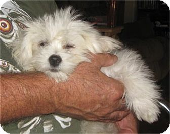 Coton de Tulear Mix Puppy for adoption in Golden Valley, Arizona - Simon