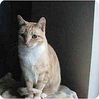 Domestic Shorthair Cat for adoption in San Jose, California - Sissy