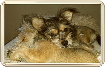 Yorkie, Yorkshire Terrier/Cairn Terrier Mix Puppy for adoption in Los Angeles, California - Collin