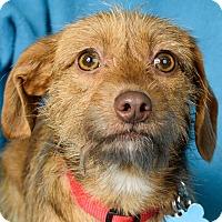 Adopt A Pet :: Pippa - Minneapolis, MN