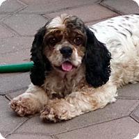 Adopt A Pet :: Josie - Flushing, NY