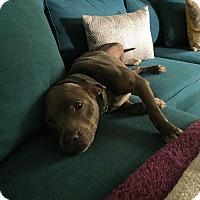 Adopt A Pet :: Inara - Dayton, OH