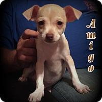 Adopt A Pet :: Amigo - Denver, NC