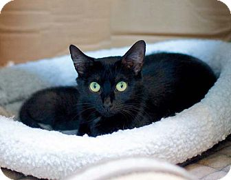 Domestic Shorthair Cat for adoption in Troy, Michigan - Anastasia