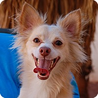 Chihuahua Mix Dog for adoption in Las Vegas, Nevada - Randall