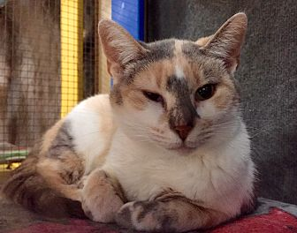 Domestic Shorthair Cat for adoption in Wilmington, Delaware - Nadia