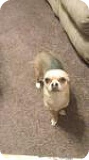 Chihuahua Dog for adoption in Jacksonville, Florida - marley 0886
