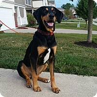 Bloodhound/Coonhound Mix Dog for adoption in Newport, Kentucky - Hero