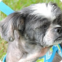 Shih Tzu Dog for adoption in Franklin, Tennessee - JOEY