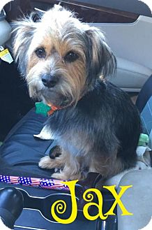 Yorkie, Yorkshire Terrier/Terrier (Unknown Type, Medium) Mix Dog for adoption in Cantonment, Florida - Jax