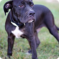 Hound (Unknown Type) Mix Puppy for adoption in Waldorf, Maryland - Oreo